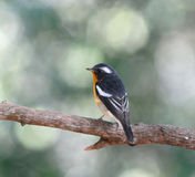 Mugimaki flycatcher Royalty Free Stock Photography