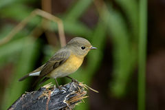 Mugimaki Flycatcher - Female Stock Photo