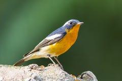 Mugimaki Flycatcher (Ficedula mugimaki), Bird Stock Images