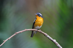 Mugimaki Flycatcher Ficedula mugimaki Stock Photo