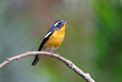 Mugimaki Flycatcher Ficedula mugimaki Royalty Free Stock Photography