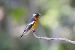 Mugimaki Flycatcher Ficedula mugimaki Royalty Free Stock Images
