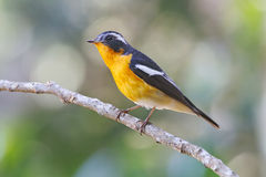 Mugimaki Flycatcher Ficedula mugimaki Male Birds of Thailand Stock Image