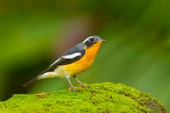 Mugimaki Flycatcher Stock Images