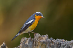 Mugimaki flycatcher Royalty Free Stock Images