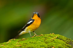 Mugimaki Flycatcher Stock Photo