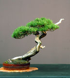 Mugo pine bonsai stock photos