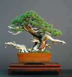 Mugo pine bonsai stock photography