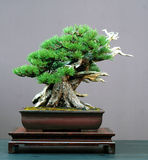 Mugo pine bonsai Royalty Free Stock Images