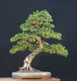 Mugo pine bonsai Royalty Free Stock Photography