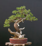 Mugo pine bonsai royalty free stock image