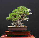 Mugo pine bonsai stock photo