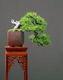 Mugo pine bonsai cascade Stock Image