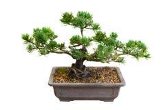 Mugo Pine Bonsai Tree. Isolated on white Stock Image