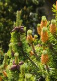 Mugo pine Royalty Free Stock Photography