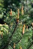 Mugo Pinus Естественная предпосылка Стоковая Фотография