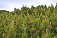 Mugo Pinus Стоковая Фотография