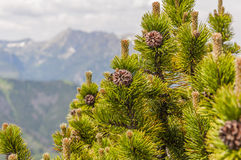 Mugo Turra del pinus Imagen de archivo libre de regalías