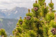 Mugo Turra Pinus Стоковое Изображение RF