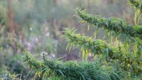 Mugo var do pinus do pinho de montanha do anão do Cultivar pumilio no fim rochoso do jardim acima video estoque