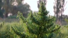 Mugo var do pinus do pinho de montanha do anão do Cultivar pumilio no fim rochoso do jardim acima filme