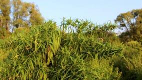 Mugo var do pinus do pinho de montanha do anão do Cultivar pumilio no fim rochoso do jardim acima vídeos de arquivo