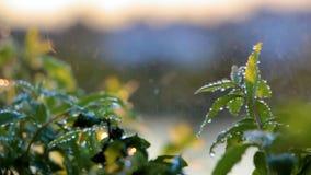 Mugo var do pinus do pinho de montanha do anão do Cultivar pumilio no jardim rochoso filme