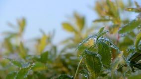 Mugo var do pinus do pinho de montanha do anão do Cultivar pumilio no jardim rochoso video estoque
