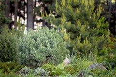Mugo var Pinus сосны горы карлика сорта растения pumilio в скалистом саде Стоковое Изображение RF
