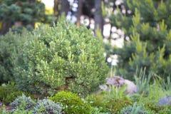 Mugo var Pinus сосны горы карлика сорта растения pumilio в скалистом саде Стоковые Изображения