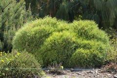 Mugo var Pinus сосны горы карлика сорта растения pumilio в скалистом саде Стоковые Изображения RF