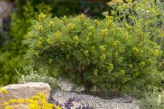 Mugo var Pinus сосны горы карлика сорта растения pumilio в скалистом саде Стоковое Фото