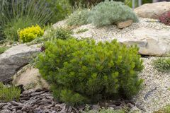 Mugo var Pinus сосны горы карлика сорта растения pumilio в скалистом саде Стоковые Фото
