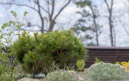 Mugo var Pinus сосны горы карлика сорта растения pumilio в скалистом саде Стоковое фото RF