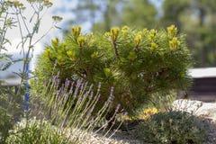 Mugo var Pinus сосны горы карлика сорта растения pumilio в скалистом саде Стоковые Фотографии RF