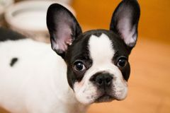 Mugshot of a cute French Bulldog stock photography
