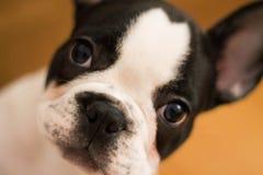 Mugshot of a cute French Bulldog stock images