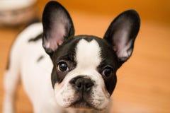 Mugshot of a cute French Bulldog royalty free stock photo