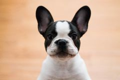 Mugshot of a cute French Bulldog royalty free stock photography