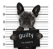 Mugshot dog at police station. Criminal mugshot of french bulldog dog at police station holding guilty placard , isolated on background royalty free stock photos