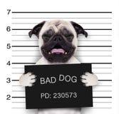 Mugshot dog at police station. Criminal mugshot  of pug  dog at police station holding placard , isolated on background Royalty Free Stock Image