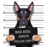 Mugshot dog at police station. Criminal mugshot  of pitbull terrier  dog at police station holding placard , isolated on background Stock Photos