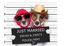 Mugshot just married dogs. Couple of newlywed just married  of dogs in a mugshot as criminals posing together forever in jail Stock Image