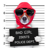Mugshot lady dog Stock Image