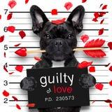 Mugshothund auf Valentinsgrüßen lizenzfreie stockfotografie