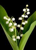 Muguet lillies Royalty-vrije Stock Afbeeldingen