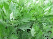 Mugwort Καλιφόρνιας, Artemisia douglasiana Στοκ Φωτογραφίες