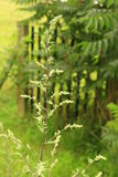Mugwort. Plant  (Artemisia vulgaris) in a garden Royalty Free Stock Images