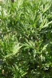 Mugwort, Artemisia vulgaris φυτό και πράσινα φύλλα Στοκ φωτογραφίες με δικαίωμα ελεύθερης χρήσης