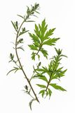 Mugwort (Artemisia vulgaris) royalty free stock images